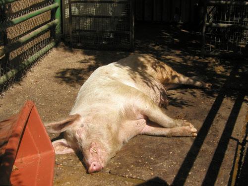 돼지-----.jpg
