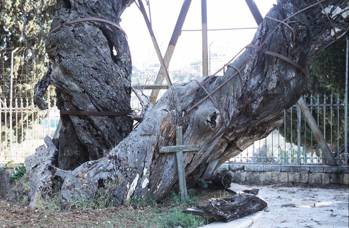 아14-마므레 상수리 나무(700.jpg