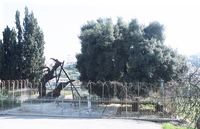 아13-헤브론 마므레 상수리 수풀(700.jpg